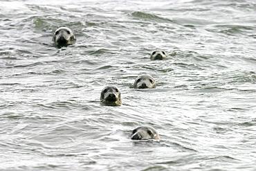 Atlantic grey seals (Halichoerus grypu) with heads above sea surface. NE Scotland   (RR)