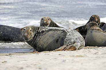Two resting female Grey Seals (Halichoerus grypus) on a sandy beach, Pentland Firth, Scotland.