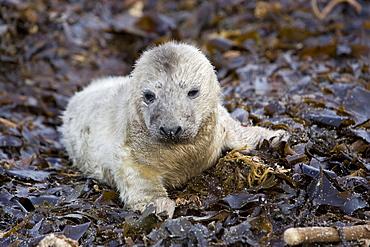 A Grey Seal pup (Halichoerus grypus) resting on seaweed, Pentland Firth, Scotland.