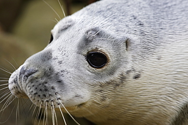 A Grey Seal pup (Halichoerus grypus) looking right at the camera, Pentland Firth, Scotland.