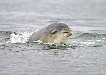 Bottlenose dolphin (Tursiops truncatus truncatus) surfacing towards the camera with its eye visible. Moray Firth, Scotland
