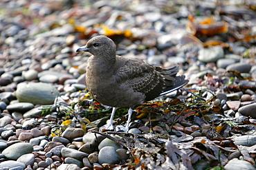 An immature Arctic Skua (Stercorarius parasiticus) on shingle shoreline, Moray Firth, Scotland.