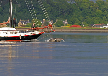 Bottlenose dolphins (Tursiops truncatus truncatus) bowriding a local sailing boat. Moray Firth, Scotland