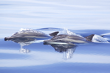 Two heads of surfacing common dolphins (Delphinus capensis). Gulf of California.   (RR)