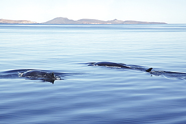 Fin whale and Humpback whaleTwo different species of whale travelling together. Gulf of California.   (RR)