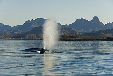 Blue whale (Balaenoptera musculus). A typical blue whale blow.  Gulf of California.