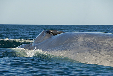 Blue whale (Balaenoptera musculus). A blue whale showing the typical mottled skin colouring. Gulf of California.