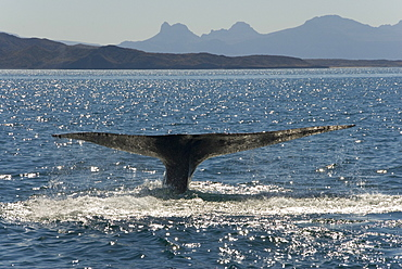 Blue whale (balaenoptera musculus). A blue whale tail in the afternoon light. Gulf of California.