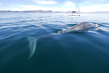 Blue whale (Balaenoptera musculus) Gulf of California.A blue whale with a sailing boat in the background.