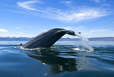Blue whale (Balaenoptera musculus) Gulf of California. A diving blue whale hoists its tail high into the midday sky.