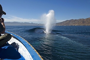 Blue whales (balaenoptera musculus) Gulf of California.Whale watchers are delighted by a blue whale that surfaces near their small boat.