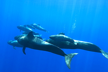 Short finned pilot whale (globicephala macrorynchus) A group of pilot whales  with bubbles rising in the background. Canary Islands.