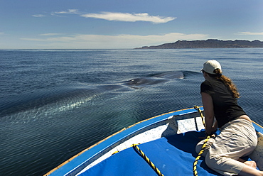 Blue whale (balaenoptera musculus) A blue whale researcher watches a whale pass by.The Gulf of California.