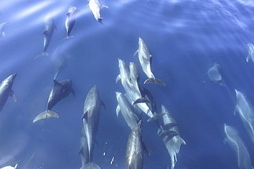 A group of bowriding bottlenose dolphins (Tursiops truncatus). Gulf of California.   (RR)