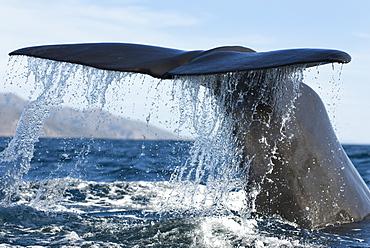 A sperm whale (physeter macrocephalus) A sperm whale tail. Gulf of California.