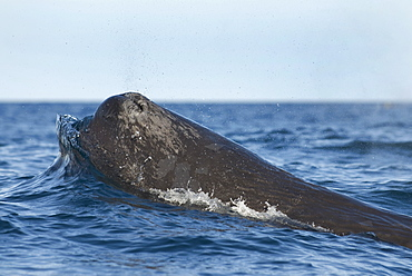 Sperm whale (physeter macrocephalus) A sperm whale head pushing up a wave. The Gulf of California.