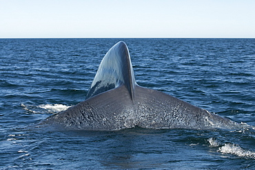Blue whale (balaenoptera musculus) A blue whale tail stock and tail as it dives.The Gulf of California.