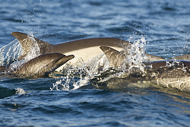 Common dolphin (delphinus delphis)A baby common dolphin surfaces beside its mother.Gulf of California.