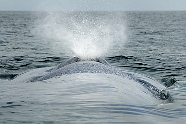 Blue whale (balaenoptera musculus) A close up view of a blue whale blow.The Gulf of California.