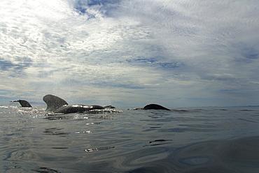 Pilot whale (globicephala macrorynchus) A surfacing pilot whale.Gulf of California.