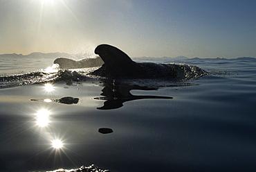 Short finned pilot whales (globicephala macrocephalus) Pilot whal  sin the low light of dawn.  Gulf of California.