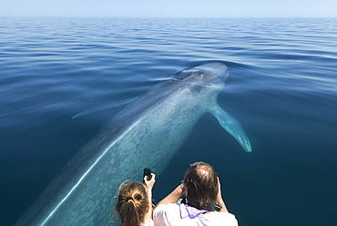 Blue whale (balaenoptera musculus) A blue whale being photgraphed with a variety of device. Gulf of California.