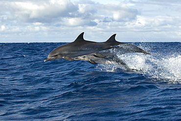 Spotted dolphin (stenella frontalis) Spotted dolphins leaping in an ocean swell. Azores.