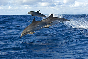 Spotted dolphin (stenella frontalis) Spotted dolphins rush to bow ride a passing yacht. Azores.