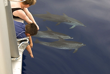 Spotted dolphins (stenella frontalis) Bowriding dolphins pass watchers on the deck above.  Canary Islands.