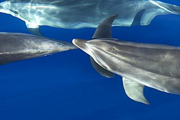 Bottlenose dolphins (tursiops truncatus) Bowriding bottlenose dolphin. Canary Islands.