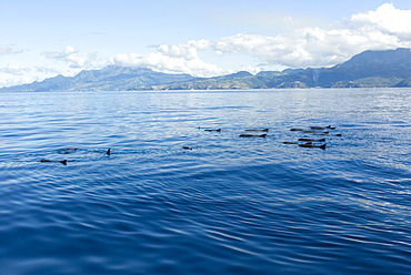 Melon headed whales (Electra dolphin)  . A group of melon headed whales logging at the surface. Eastern Caribbean