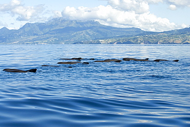 Melon headed whales (Electra dolphin)  . A Very typical view of melon headed whales logging. Eastern Caribbean