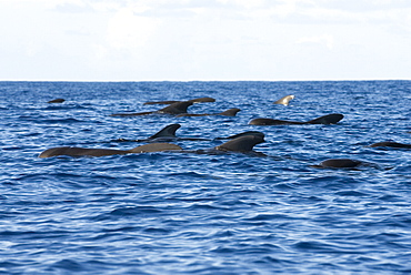 Short finned pilot whale (globicephala macrorhynchus). The typical view of a group of resting pilot whales. Eastern Caribbean
