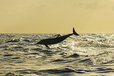 Atlantic spotted dolphin (stenella frontalis)  . A spotted dolphin breaching in the late afternoon light in a silvery sea. Eastern Caribbean
