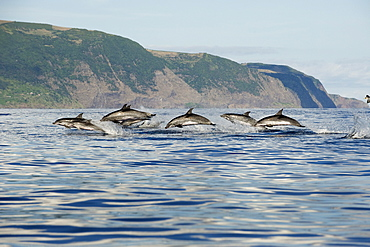 Spotted dolphins (Stenella frontalis) at high speed, Azores, Portugal, Atlantic, Europe