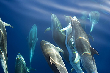 Bottlenose dolphin (Tursiops truncatus) bowriding dolphins illuminated by the sun, Azores, Portugal, Atlantic, Europe