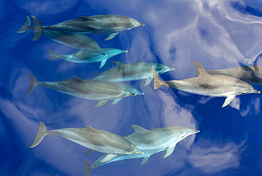 Spotted dolphin (Stenella frontalis) bowriding with cloud reflections, Azores, Portugal, Atlantic, Europe