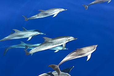 Spotted dolphin (Stenella frontalis) bowriding, Azores, Portugal, Atlantic, Europe