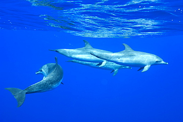 Spotted dolphin (Stenella frontalis) underwater, Azores, Portugal, Atlantic, Europe