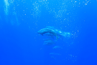 False killer whales (Pseudorca crassidens) tightly bunched in a sea full of bubbles that they have created, Azores, Portugal, Atlantic, Europe