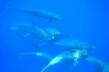 Group of tightly bunched false killer whales (Pseudorca crassidens), Azores, Portugal, Atlantic, Europe