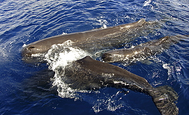Sperm whale. (Physeter macrocephalus). A small group of sperm whales. Caribbean.