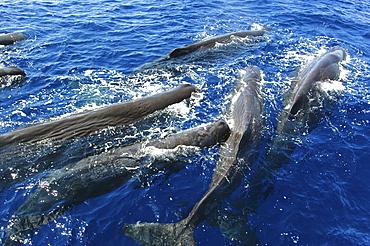 Sperm whale. (Physeter macrocephalus). A group of sperm whales socialising. Caribbean.