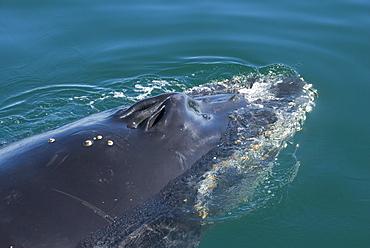 Humpback whale (Megaptera novaeangliae). The blow holes of a humpback whale.  Gulf of California.