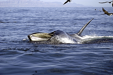Bryde's whale (Balaenoptera edeni) lunge feeding Bryde's whale. Gulf of California.   (RR)