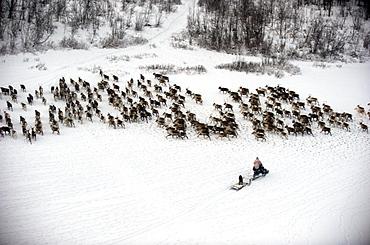 herding reindeer across the artic circle in Lapland