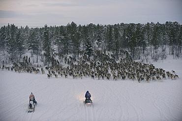 sami reindeers herdsman  sorting reindeers in the artic circle