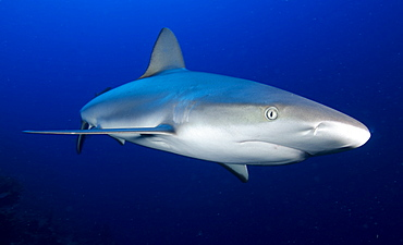 Grey reef shark, Turks and Caicos, West Indies, Caribbean, Central America