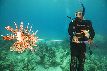 Diver collecting lionfish in the Bahamas, as they have become an invasive species, Bahamas, West Indies, Central America