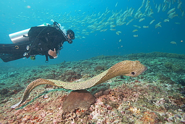 Free spotted eel, Dimaniyat Islands, Gulf of Oman, Oman, Middle East